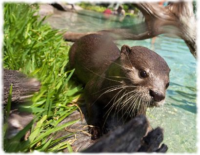 Otters at Freshwater Oasis, Discovery Cove